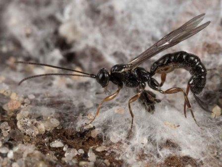 Наездники упаковывают парализованных пауков в их собственную паутину. видео