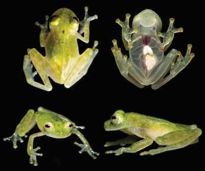 Найден новый вид лягушек с прозрачной кожей