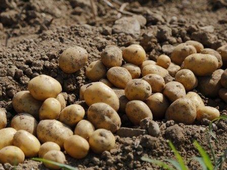 Найдены самые древние свидетельства употребления человеком картофеля