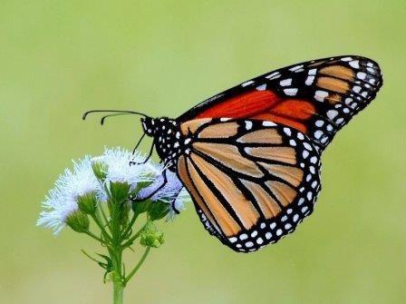 Неверный подбор корма приводит к прекращению миграций бабочек-монархов