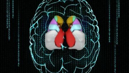 Неврологи раскрыли генетику размеров мозга