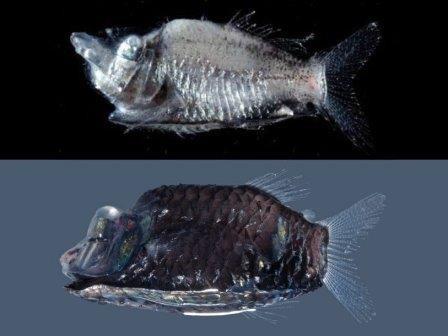 Обнаружены два новых вида светящихся рыб