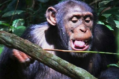 От зависти и нужды шимпанзе изобрели ловушку для агрессивных муравьев. видео