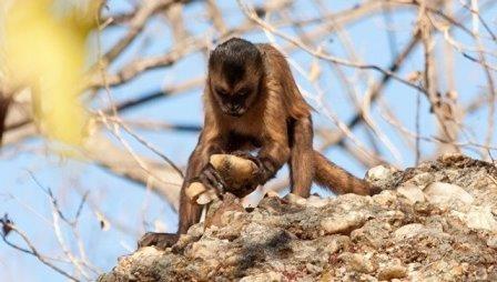 Открыты обезьяны, умеющие изготавливать каменные орудия труда