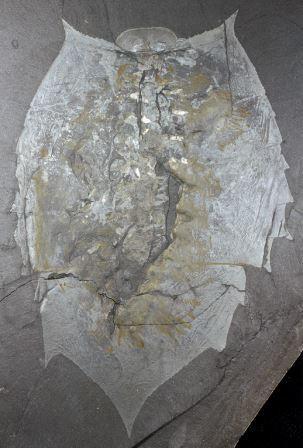Палеонтолог выяснил, как первые членистоногие обзавелись головой