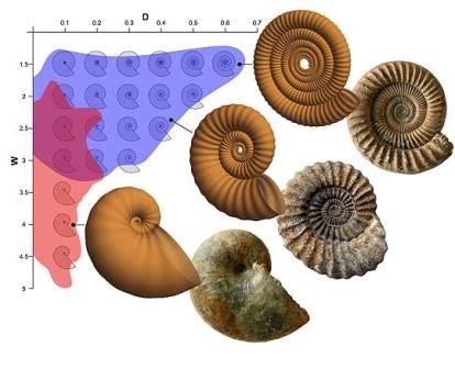 Палеонтологи рассчитали формулу ребер аммонитов