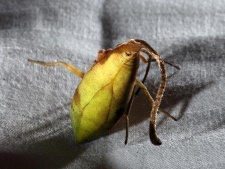 Паук из южного китая притворяется опавшим листом