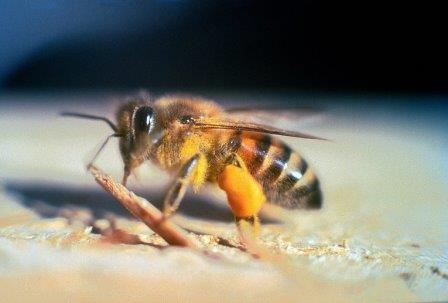 Пчелы-убийцы продолжают распространяться по калифорнии