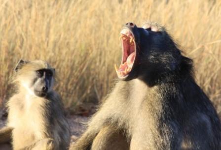 Пересадка сердца свиньи бабуину признана успешной