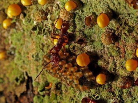 Перуанская гусеница ест паразитическое растение и угощает муравьев. видео