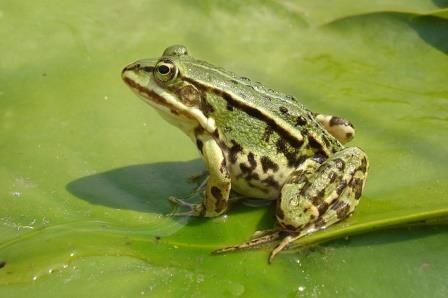 Процесс образования новых видов изучили на примере съедобных лягушек