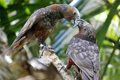 Птицы кака заинтересовали ученых