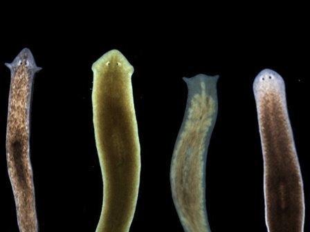 Работа электрических синапсов влияет на форму головы плоских червей