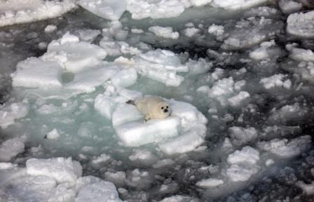 Раннее таяние льдов белого моря угрожает массовой гибелью новорожденных тюленей