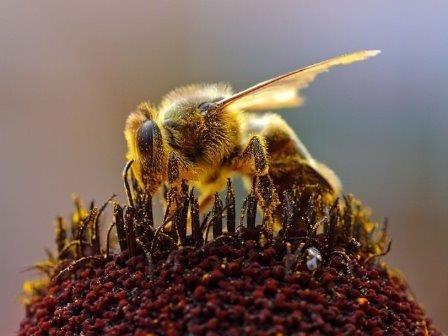 Растительная диета влияет на касту будущей пчелы