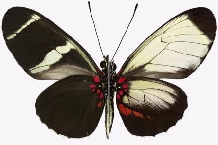 Разнообразие рисунков на крыльях бабочек зависит от мутации одного гена