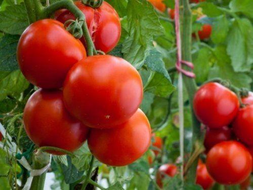 Россия готовится запретить ввоз «санкционных» томатов избелоруссии - «экономика»