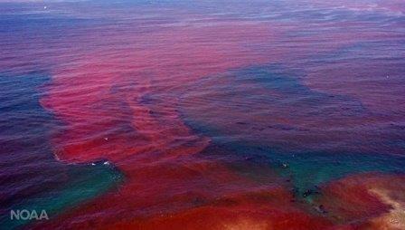 Российские биологи раскрыли тайну «кровавых приливов» на балтике