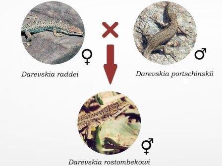 Российские ученые объяснили происхождение природных ящериц-клонов