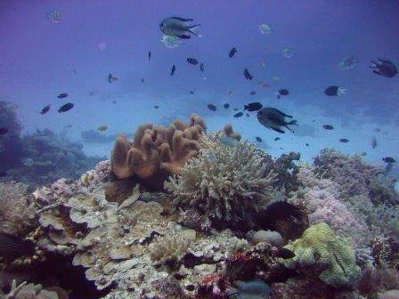Рыбы-фермеры провоцируют болезни у кораллов