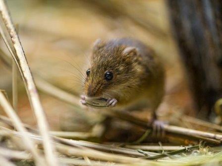 Самки мышей поют в ответ на серенады самцов