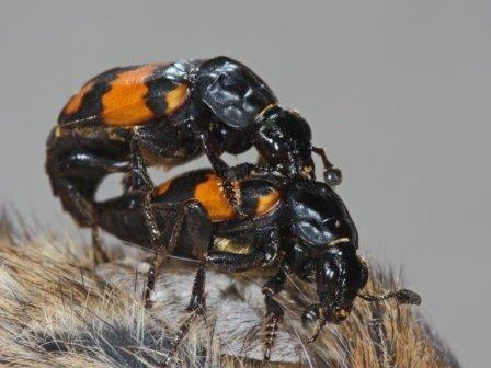 Самки жуков-могильщиков управляют сексуальным поведением своих партнеров