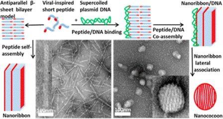 Самоорганизующиеся нанококоны моделируют вирусы