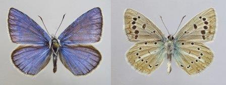 Северокавказские бабочки по числу хромосом оказались равными людям