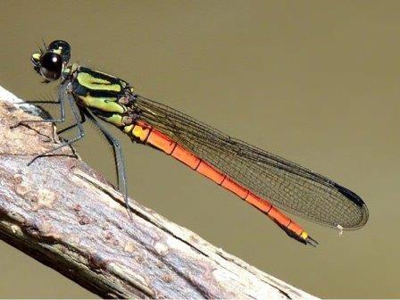 Шестьдесят новых видов стрекоз описано в африке