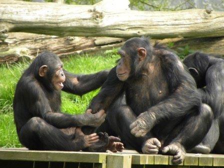 Шимпанзе и бонобо общаются на одном языке жестов