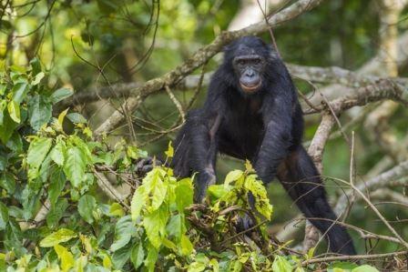 Шимпанзе и орангутаны умеют понимать ошибочность чужих суждений