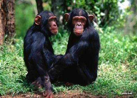 Шимпанзе оценивают хорошие и плохие поступки так же, как люди