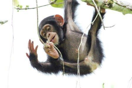Шимпанзе внутренне «заряжены» на создание орудий труда