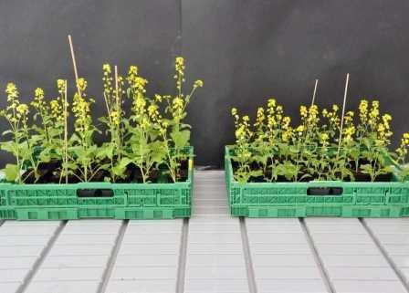 Шмели ускорили дивергентную селекцию растений