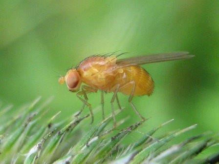 Сибирские ученые нашли изменения в генах мух-дрозофил, выросших в космосе