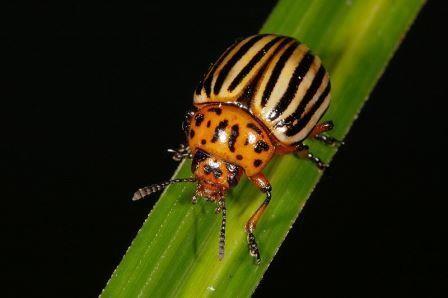 Сибирские учёные предлагают бороться с колорадским жуком при помощи грибов и бактерий