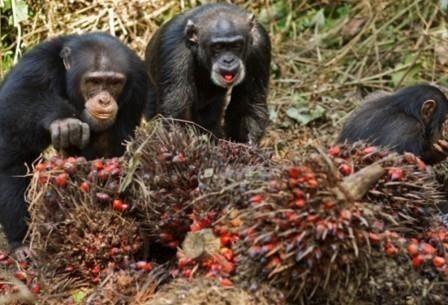 Среди диких шимпанзе обнаружили алкоголиков