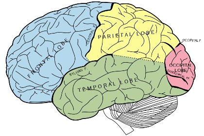 Средний мозг исключили из эволюции позвоночных