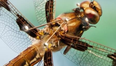 Стрекозы предугадывают траекторию полета своей жертвы. видео