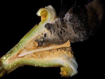 Текила помогла спасти редкий вид летучих мышей