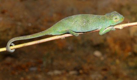 Три новых вида хамелеонов открыты в центральной африке
