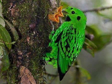 У тропических певчих птиц рождается меньше птенцов