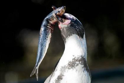 Ученые объяснили потерю пингвинами способности ощущать вкус рыбы
