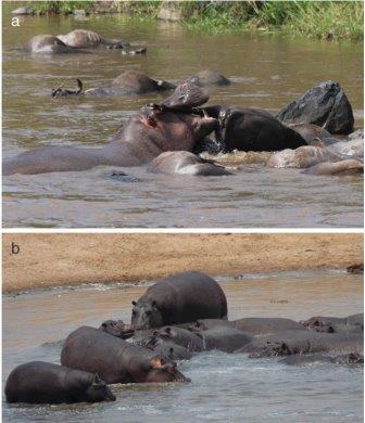 Ученые обнаружили признаки того, что бегемоты являются хищниками