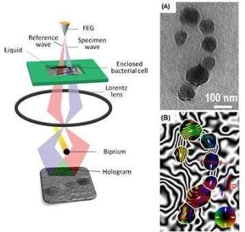 Ученые сумели разглядеть магнитные поля отдельных бактерий