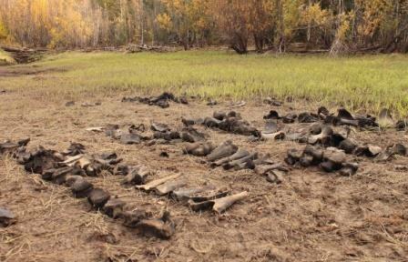 Ученые впервые нашли в югре массовое скопление костей мамонтов