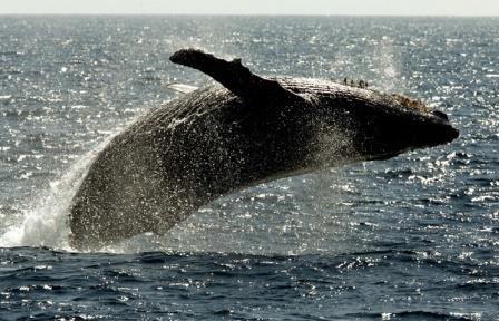 Ученые впервые зафиксировали появление горбатых китов у земли франца-иосифа