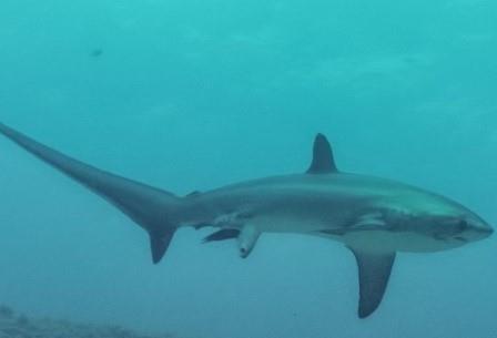 Ученым удалось сделать снимок, как акула рожает детеныша в океане