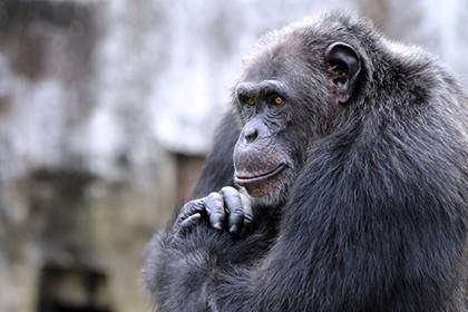 Умственные способности шимпанзе определяются генами