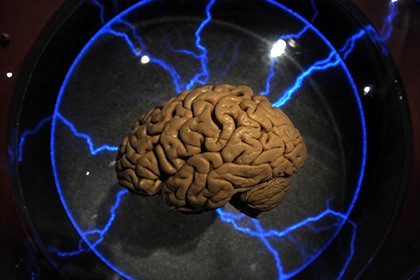 Установлено происхождение мозговых извилин